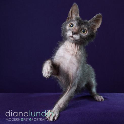 werewolf cat also known as lykoi