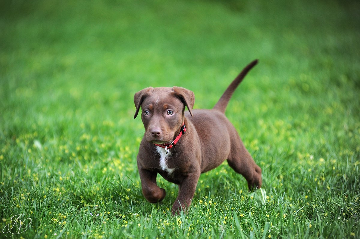chocolate lab puppy in grass, albany pet photographer, albany pet photographers