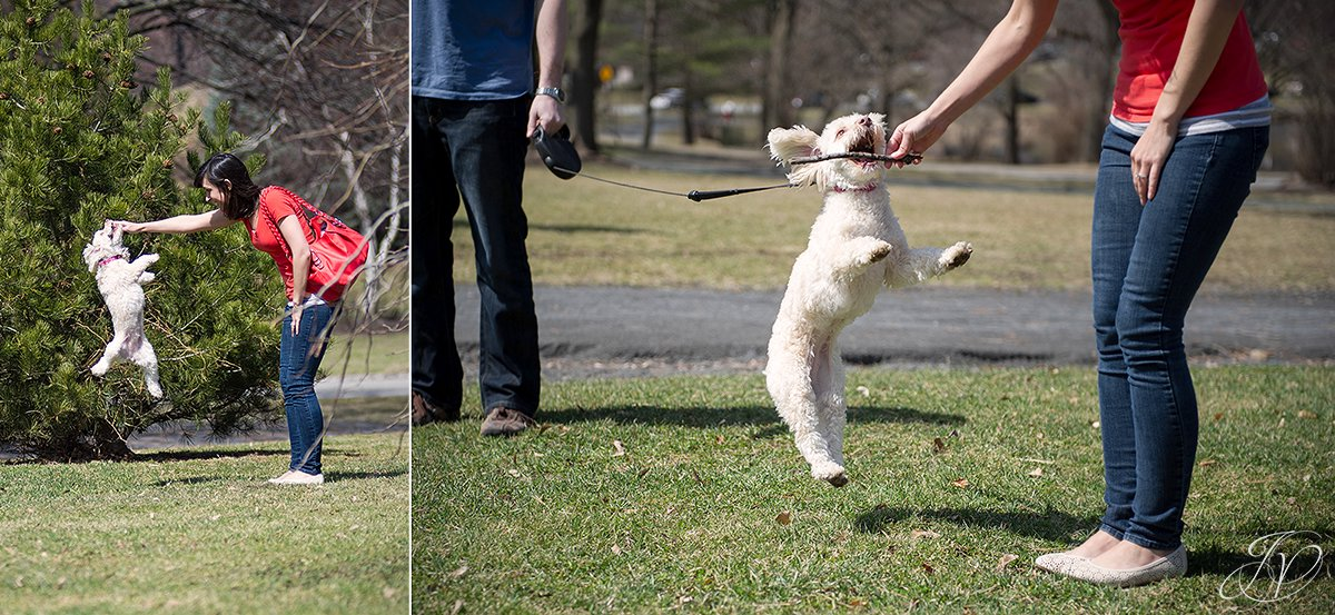 poodle jumps high for stick, girl plays fetch with poodle, albany engagement photographers, engagement session in washington park